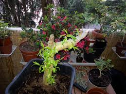 bonsai saule pleureur grosse bouture de saule mes premiers bonsai présentation et