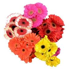 gerbera daisies gerbera daisies assorted bright colors 50 stems sam s club