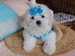 bichon frise nashville beautiful bolognese puppies for sale