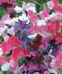 sweet peas flowers sweet dreams mix sweet pea seeds and plants annual flower garden