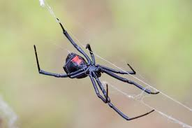 Black Widow Spiders Had A - 10 fascinating things about black widow spiders