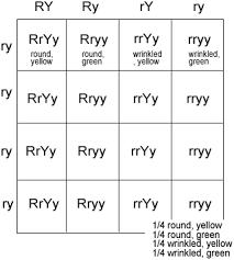 Dihybrid Cross Punnett Square Worksheet Dihybrid Crosses