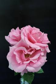 rhode island rose society home page
