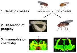 structured inquiry based learning drosophila gal4 enhancer trap