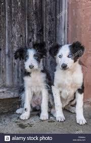 staffy x australian shepherd cross breed dogs stock photos u0026 cross breed dogs stock images alamy