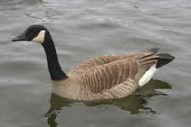 canada goose subspecies