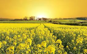 yellow flowers a field of yellow flowers 1920 x 1200 nature photography