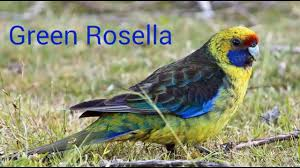different type of rosella birds youtube