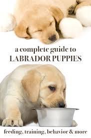 labrador puppies a complete guide