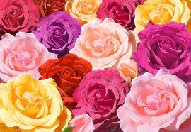 multicolored roses multicolored roses closeup stock photo vlukas 31194001