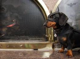 a dachshund christmas as enjoyed by crusoe the celebrity dachshund