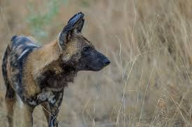 safari ltd african wild dog 10 interesting facts about african wild dogs africa geographic