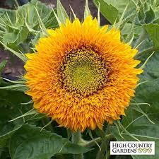 dwarf double sunflower seeds helianthus annuus seeds dwarf