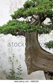 pruning ornamental trees stock photos pruning ornamental trees