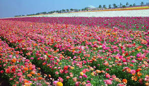 san diego flowers is blooming at the carlsbad flower fields magazine