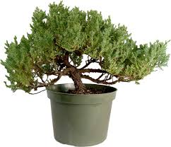 bonsai trees for sale bonsai trees at dallasbonsai com