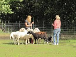belgian shepherd herding long island k 9 academy sheep herding