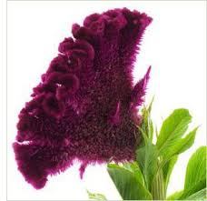 coxcomb flower 49 best coxcomb images on flower arrangements brain