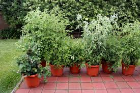 why grow vegetables and herbs in pots bonnie plants