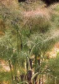 foeniculum vulgare bronze fennel