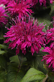 purple shade balmy purple bee balm monrovia balmy purple bee balm