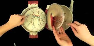 Eye Anatomy And Physiology Witkowski Human Anatomy And Physiology Eye Youtube