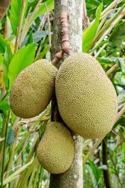 brazil native plants jackfruit wikipedia