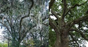 how can i stop moss from killing my trees superior spraysuperior spray