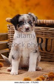 australian shepherd welpen 5 wochen miniature australian shepherd stock photos u0026 miniature australian