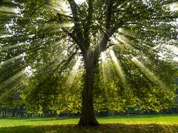 what does the sycamore tree symbolize synonym