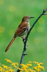 50 best official birds of u s states images on pinterest