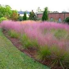 pink muhly grass plant ornamental grass plants free ornamental