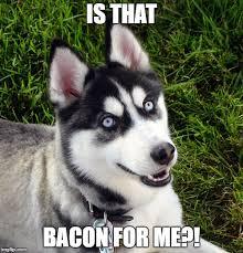 Dog Bacon Meme - 8 funny siberian husky memes what every dog deserves
