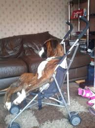 boxer dog meme 438 best dog images on pinterest boxer love animals and boxer