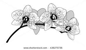 Black Orchid Flower Black Orchid Stock Images Royalty Free Images U0026 Vectors