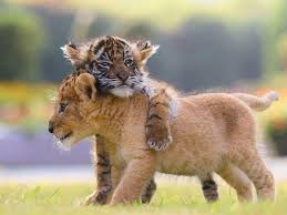 cute lion and tiger cubs appear to be best friends in adorable