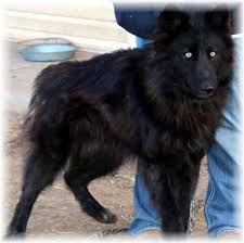 belgian sheepdog wolf hybrid woolly wolf dog puppy well socialized and beautiful in hoobly