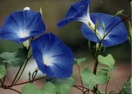 Blue Flower Vine - flowering vines starter collection u2013 mountain meadow seeds