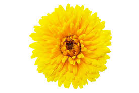 calendula flowers calendula flowers 1024 683 transprent png free pollen