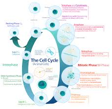 file animal cell cycle en svg wikimedia commons