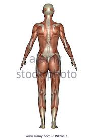 Female Muscles Anatomy Muscular Forearm Stock Photos U0026 Muscular Forearm Stock Images Alamy