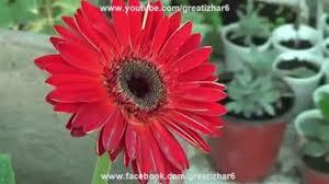 gerbera plant gerbera plant care perennial gerbera gerbera flower