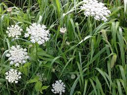 the weed paintings continue queen anne u0027s lace u2014 natalie wargin