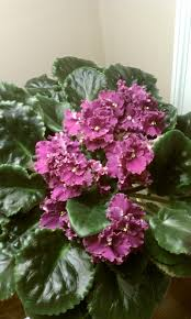168 best beautiful african violets images on pinterest african