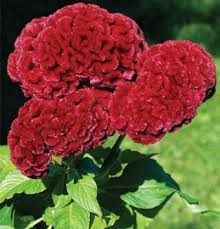 celosia flower buy celosia flower seeds
