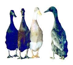 murray mcmurray hatchery runner duck assortment