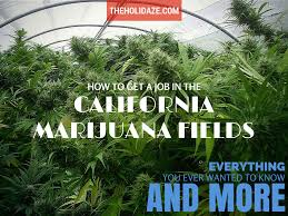 how to get a job in the california marijuana fields the holidaze