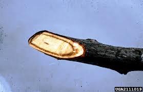 Diseases In Plants And Animals - dutch elm disease