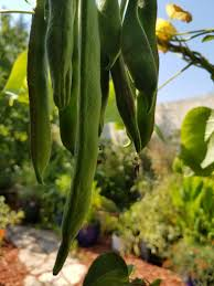 scarlet runner beans sunnyvale garden