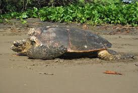sea turtle facts u2014 see turtles